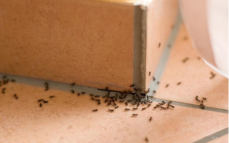fourmi-maison