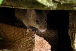 rat-maison