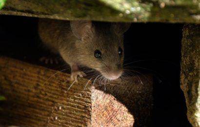 Se débarrasser des rats dans la maison
