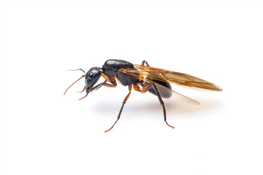 fourmis volantes