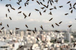 fourmis-volantes