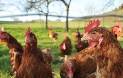Comment permettre à vos poules de passer l'hiver en toute sérénité ?