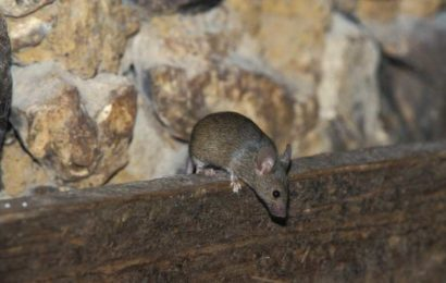 Les astuces les plus efficaces pour se débarrasser définitivement des souris