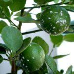 remede-cochenilles